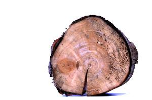 Japonský topol na dřevo