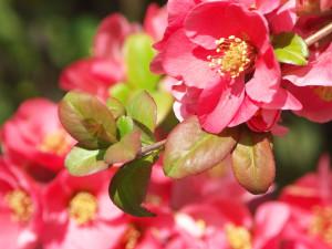 kdoulovec květy