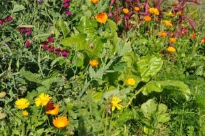 zeleninová polykultura (11)